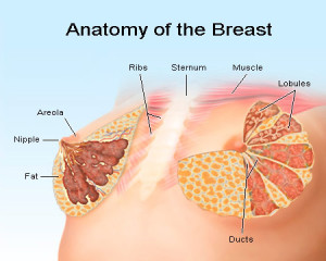 anatomy of a female breast